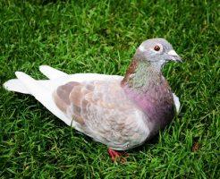 鳩 鼻 白い