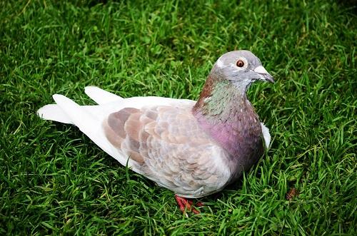 鳩の鼻が白い事について