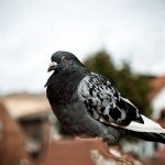 何故鳩は冬に膨らむように太るのか?