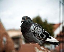 鳩 冬 膨らむ 太る