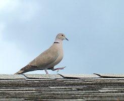 鳩 首の動き 理由
