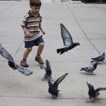 野生の鳩を飼うことができない2つの理由