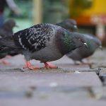 鳩のフンは人に有害があり病気になる可能性がある?