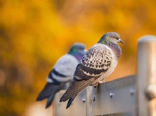 鳩 くちばし キス