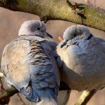 鳩が求愛する季節はいつなのか?