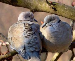鳩 求愛 季節