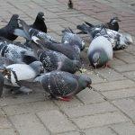 鳩やカラスから受ける被害…その違いって?