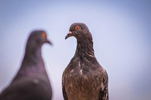 鳩 生態 夫婦 夜