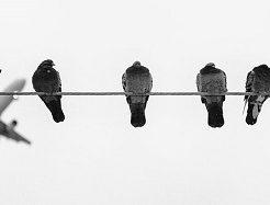 鳩 飼育 迷惑