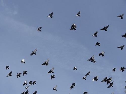 鳩 雨 鳴く