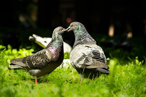鳩 卵 温める 期間