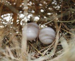鳩 孵化 日数