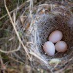 鳩の雛の飼育方法について