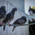 鳩を食べる鳥や動物はいる?鳩の天敵