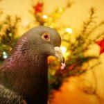 鳩の鳴き声は、リズムを取っているの?
