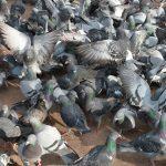 鳩を飼育や餌付けすることの法律上の2つの問題点