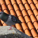 鳩の巣作り、秋がピーク?巣作りの季節はいつ頃?