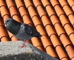 鳩 巣作り 秋 季節