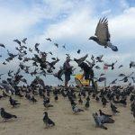 鳩の孵化と巣立ち