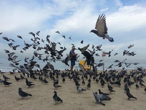 鳩 孵化 巣立ち
