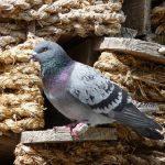 鳩の産卵に関する生態について