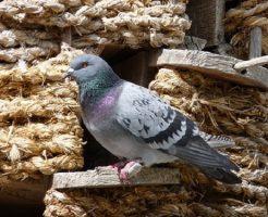 鳩 生態 産卵