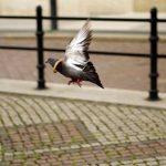 鳩の羽について