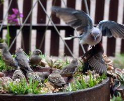 鳩 子供 餌 育て方