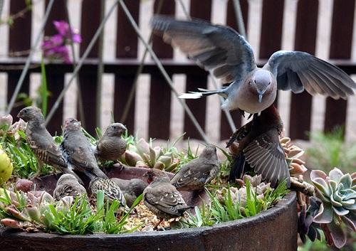 鳩の子供の餌や育て方とは?