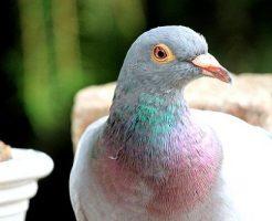 鳩 色 種類