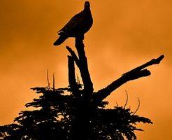 鳩 夢占い 襲われる 攻撃