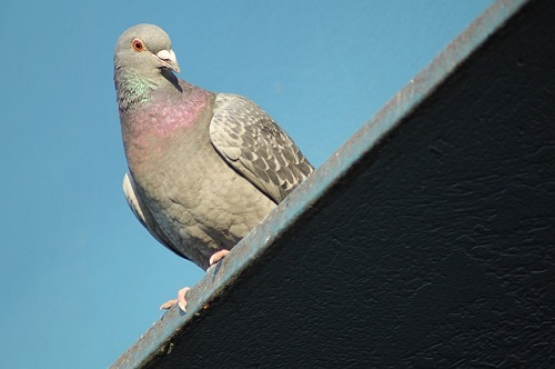 鳩の求愛行動3パターンと見られる時期