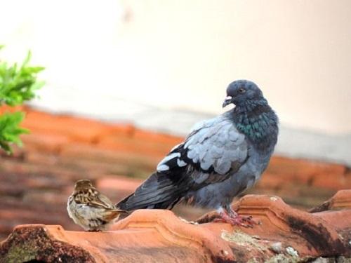 鳩 羽 粉