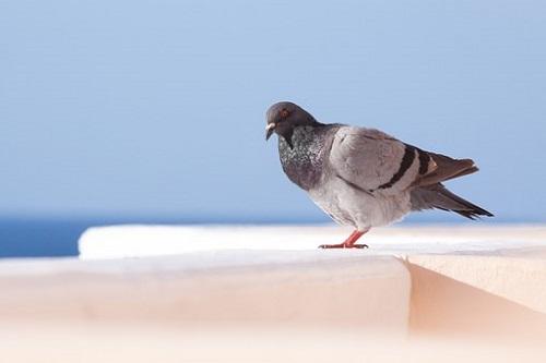 鳩 ペット なつく