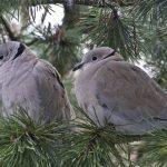 鳩の夫婦は仲良しなの?鳩のつがいについて徹底調査!