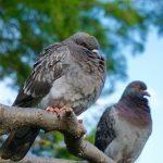 鳩の巣作り、時間はどの位かかる?巣を使う期間は?