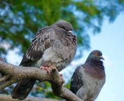 鳩 巣作り 時間 期間