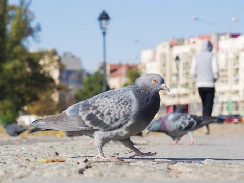 鳩の鳴き声が気持ち悪いという人は意外と多い?! | ハト研究所