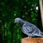鳩の産卵と鳴き声について