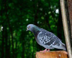 鳩 産卵 鳴き声