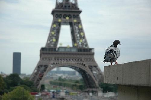 鳩の鳴き声、種類と意味は? | ハト研究所