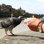 鳩に与える餌は何がいい?また,食べないときは?