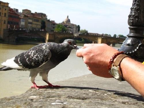 鳩 餌 食べない