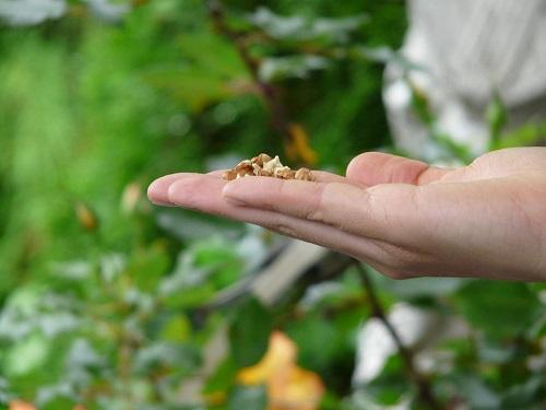 鳩 餌 好物 パン