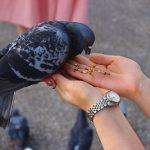 鳩の餌と食事の時間について