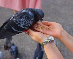鳩 餌 時間