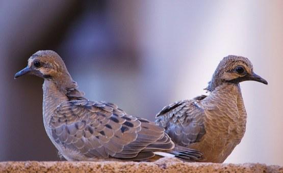 鳩 雛 鳴かない