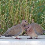 鳩の孵化と営巣
