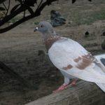 鳩の産卵の時期について。