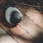 ケガをした鳩や鳥に遭遇した時の対処